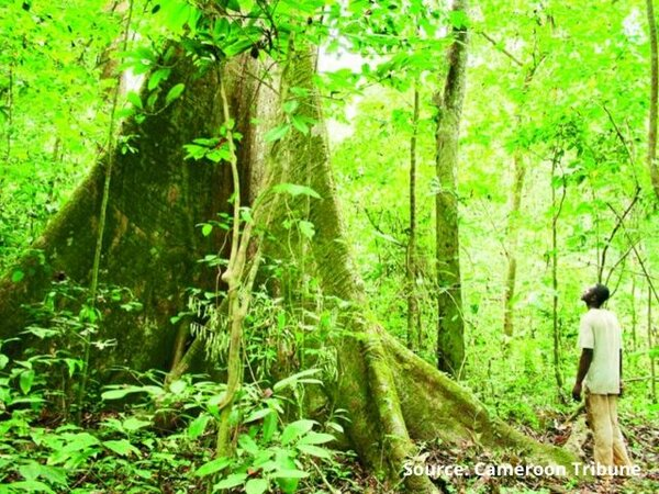 The Congo Basin Forest Partnership: a powerful force to save Central Africa's forests?