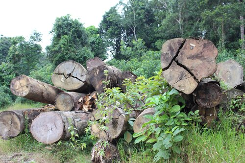 Liberia's timber: From curse to blessing?